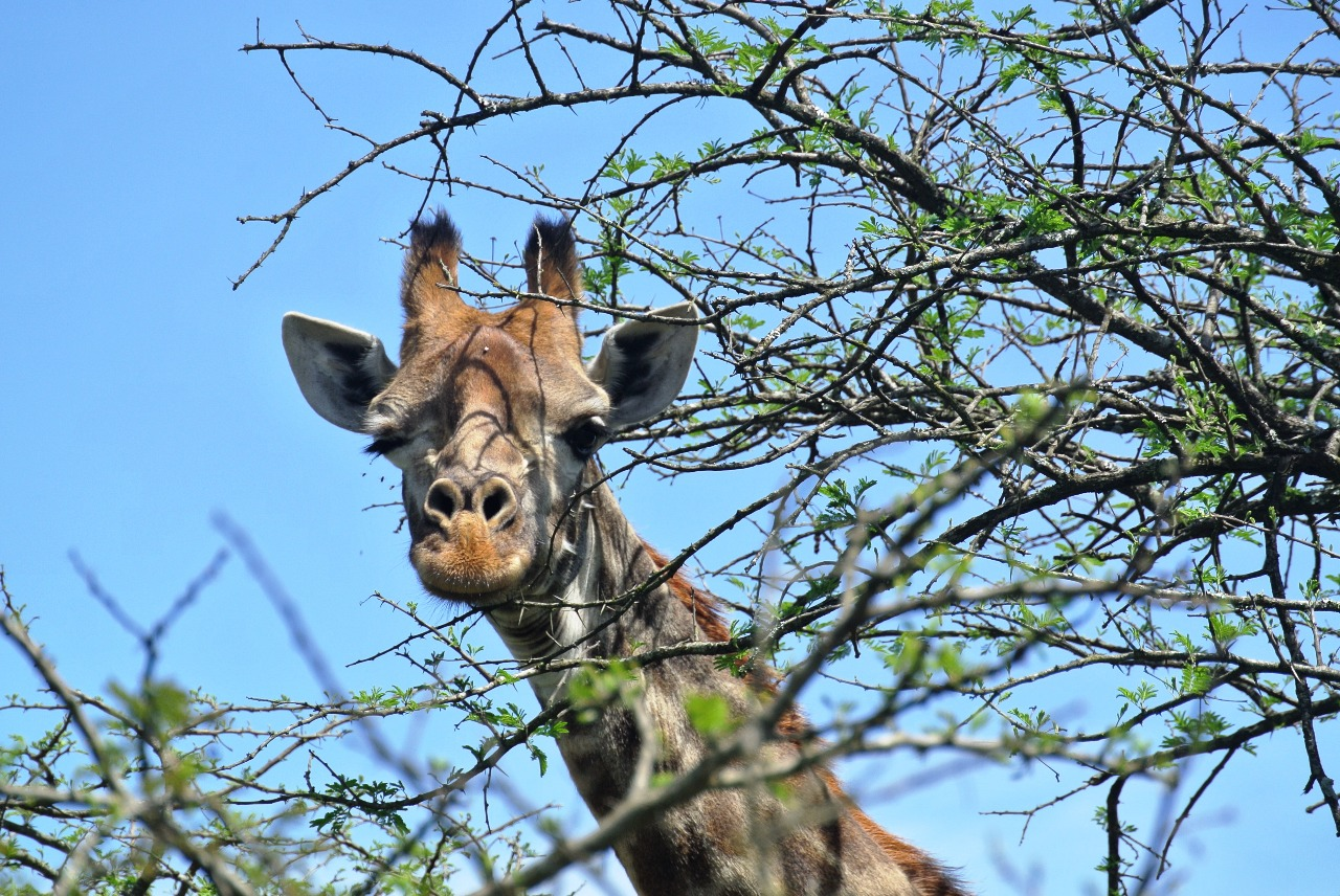 Giraffe at safari game drive