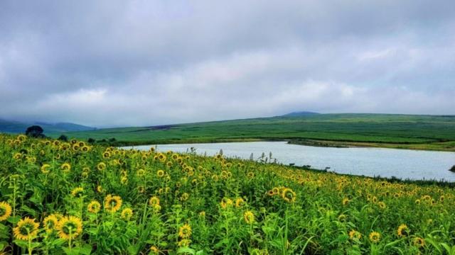 sunflower field close to retreat